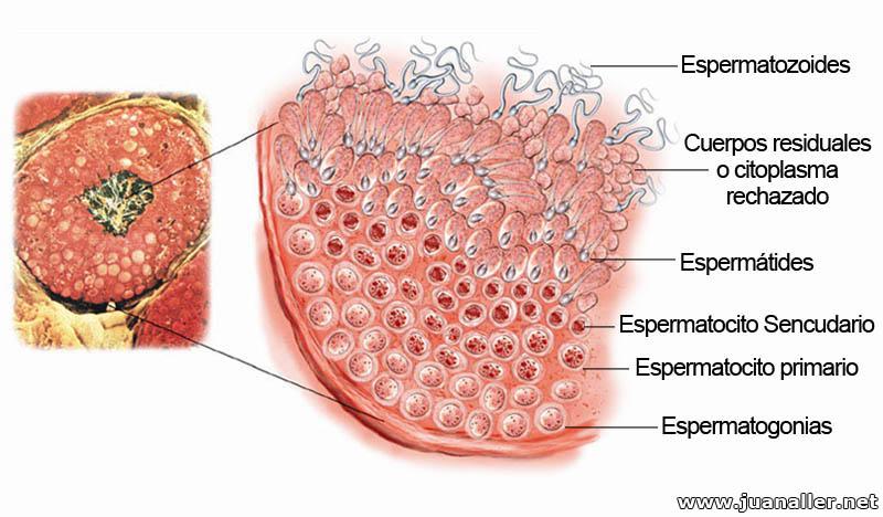 Cómo se desarrollan los gametos masculinos?